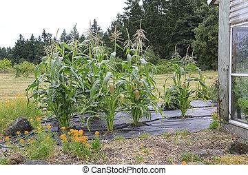 成長する, トウモロコシ, 植物, 光景