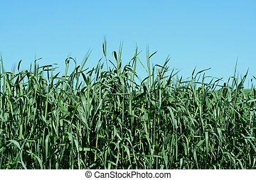 成長する, 干し草, フィールド