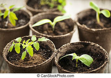 成長する, 泥炭, ポット, こけ, 実生植物