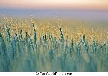 成長する, 農学, agriculture., wheat., 食物, industry.