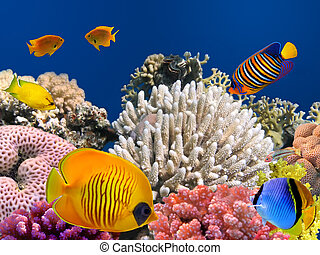 戴面具, 蝴蝶魚, (chaetodon, semilarvatus), 以及, 珊瑚礁