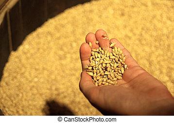 手。, 大麥