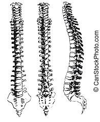 手, 畫, 脊髓, 段