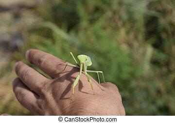 手。, 祈る mantis, 人