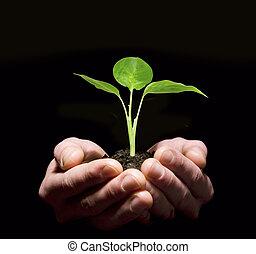 手, 藏品, 樹苗, 在, 土壤