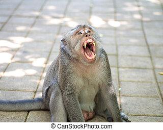 打呵欠, 漂亮, 肥胖, 獼猴, 猴子, 在, uluwatu, bali, 印尼