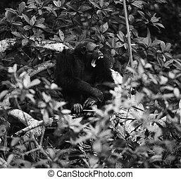 打呵欠, 黑猩猩