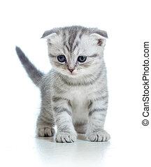 折り目, 白, 子ネコ, 隔離された, スコットランド
