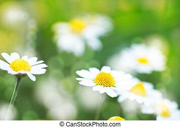 抽象的, 夏, 背景, ∥で∥, デイジー, 花