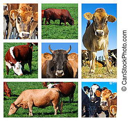 拼貼藝術, 領域, 牛