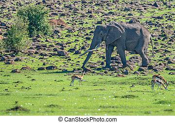 拾い読み, アフリカの象