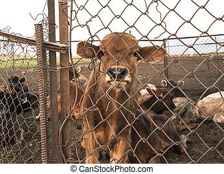 捕虜, の後ろ, 子牛, フェンス
