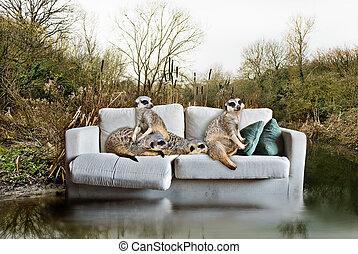 捨てられた, 捕えられた, 概念, meerkats, 環境, couch.
