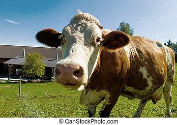搾乳場, 牛, 上に, 夏, 牧草地