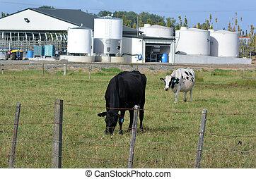 搾乳場, 産業, ニュージーランド