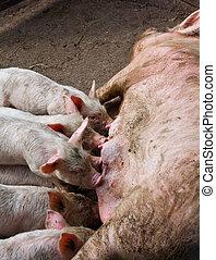 播种, 喂, the, 豬