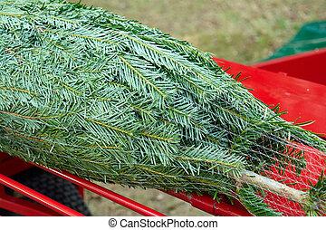 整洁的松樹, 樹, 為, 聖誕節