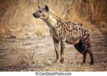 斑点を付けられた hyena