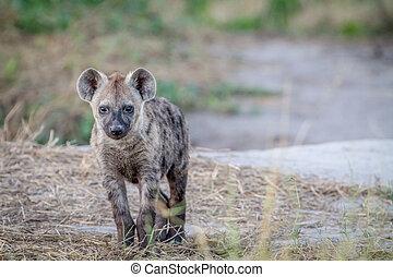 斑点を付けられた hyena, 主役を演じる, 若い, カメラ。