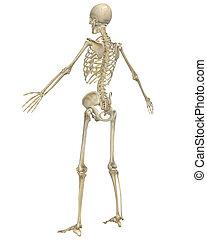 斜め, スケルトン, 解剖学, 人間, 後部光景