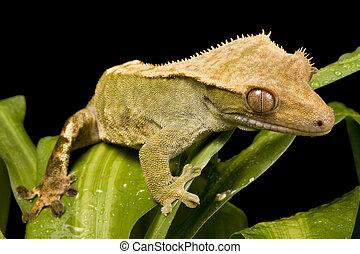 新しい, caledonian, gecko