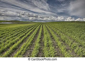 新たに, 植えられた, 収穫