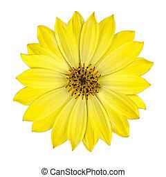 新たに, 花, osteospermum, 黄色, 隔離された