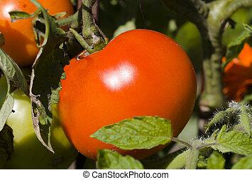 新たに, 赤, トマト