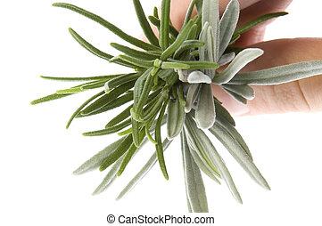 新たに, herbs., ラベンダー, ローズマリー