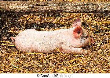 新出生, 豬