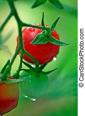新鮮的番茄, 綠色, 櫻桃, 紅色