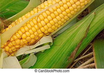 新鮮, 玉米, 綠色, 離開, 黃色