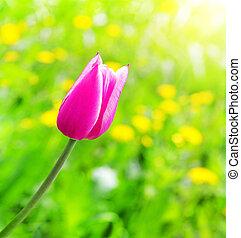 新鮮, 粉紅色, 郁金香