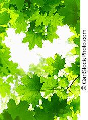 新鮮, leaves., 楓樹, grenn