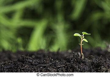 新, 秧苗, 發芽, 從, 地面
