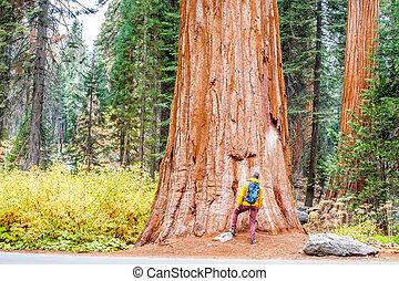 旅游者, 带, 背包, 远足, 在中, 红杉国家的公园