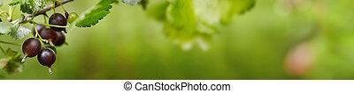 无核小葡萄干, 黑色, branch., 浆果, 成熟