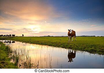 日の出, 川, 反映された, 牛