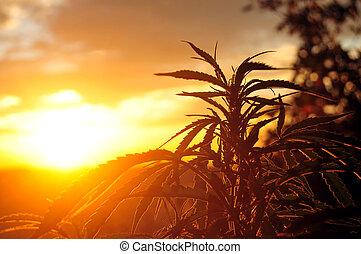 日の出, 植物, インド大麻