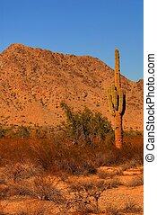 日出, saguaro, 2