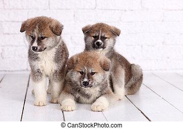 日本語, akita-inu, 秋田, inu, 犬, puppys