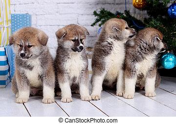 日本語, akita-inu, 秋田, inu, 犬, puppys, 座る, 上に, a, ∥, 元日, 背景