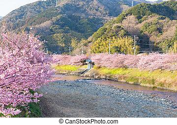 日本, 木, sakura