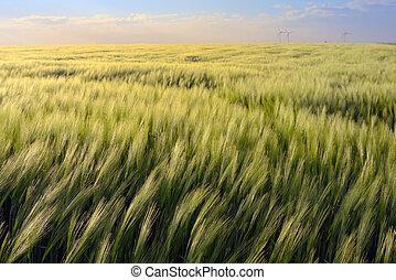 日没, 上に, ライ麦, 緑のフィールド