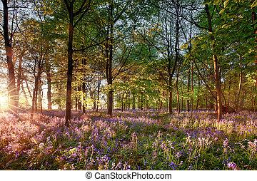 早く, 英語, 森林, 日の出, ブルーベル