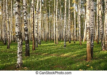 早, 小樹林, 秋天, 樺樹