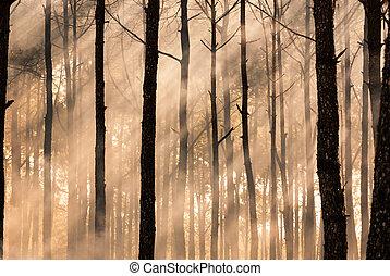 早, 有霧, 森林, 早晨