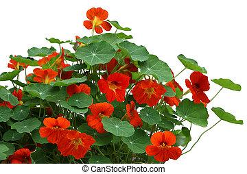 旱金蓮屬植物, 花, 植物