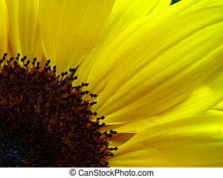 明亮, 向日葵