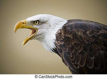 映像, の, a, 美しい, 白頭鷲, 隔離された, 上に, a, 茶色の 背景